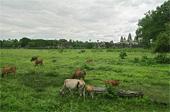 cowsthumb.jpg